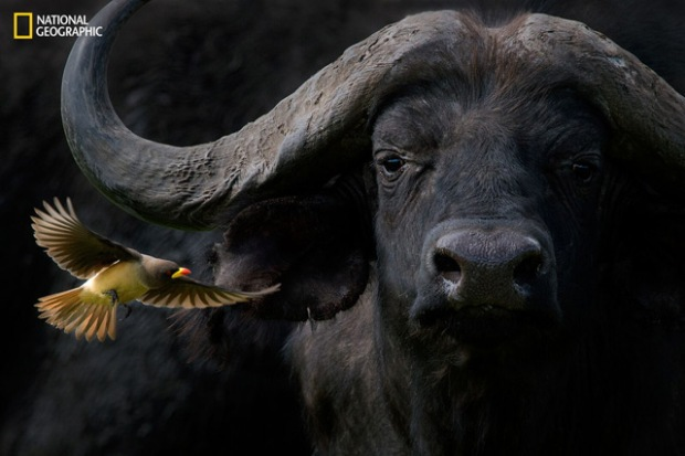 """Barbara Fleming, """"Cape Buffalo with Yellow-Billed Oxpecker"""""""